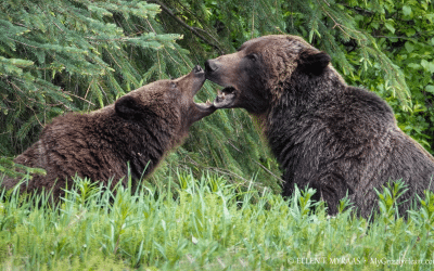 Five Tips for Wildlife Watching in the Canadian Rockies